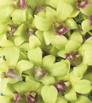 Jade Dendrobiums