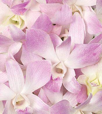 Mistine Dendrobiums