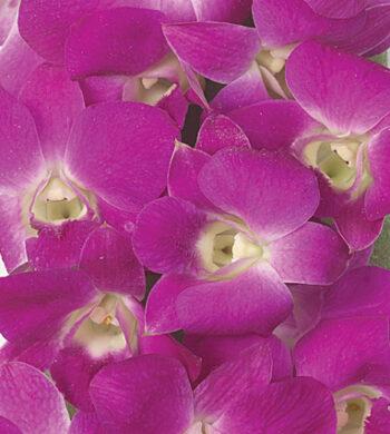 Queen Pink Dendrobiums
