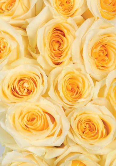 Crème de la Crème Roses