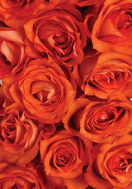 Iguana Roses