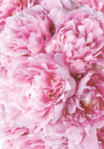 Peony flower color facts the meaning of peonies pink peonies mightylinksfo