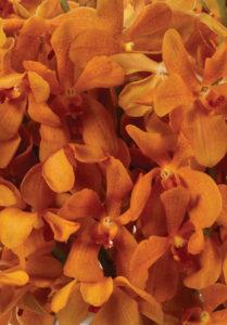 Orange Mokaras