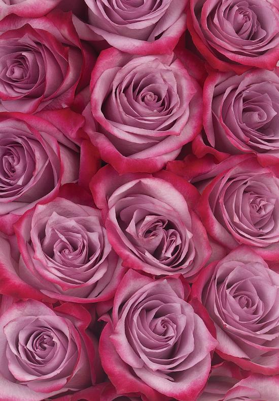 Deep Purple Roses Calyx Flowers Inc