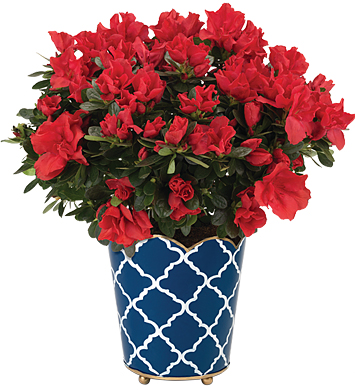 Glory Azalea Plant