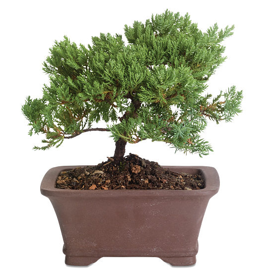 Venerable Bonsai with pot