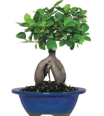 Ginseng Ficus Bonsai Tree