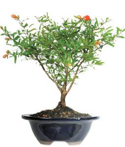 Pomegranate Bonsai