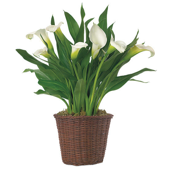 White Calla Lily Plant with basket