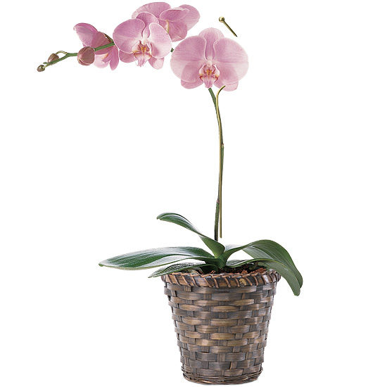Mother's Day Orchid Plant with basket