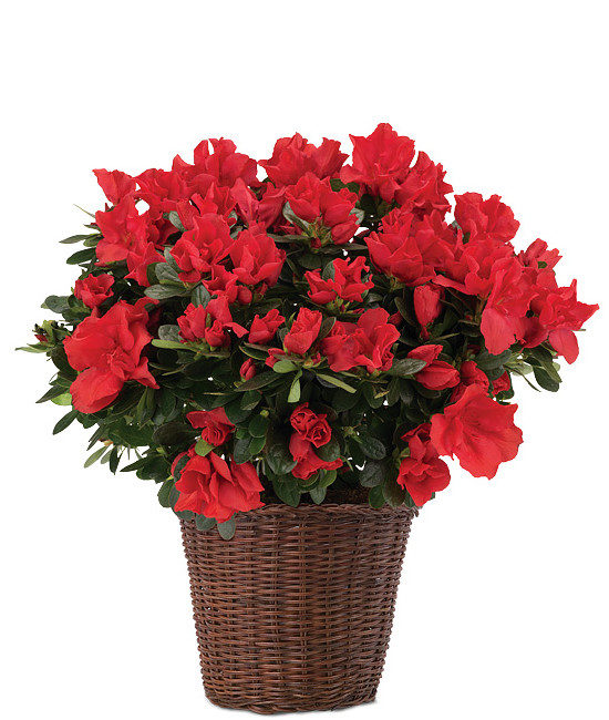 Feb - Red Azalea Plant