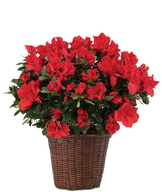 Feb - Red Azalea Plant