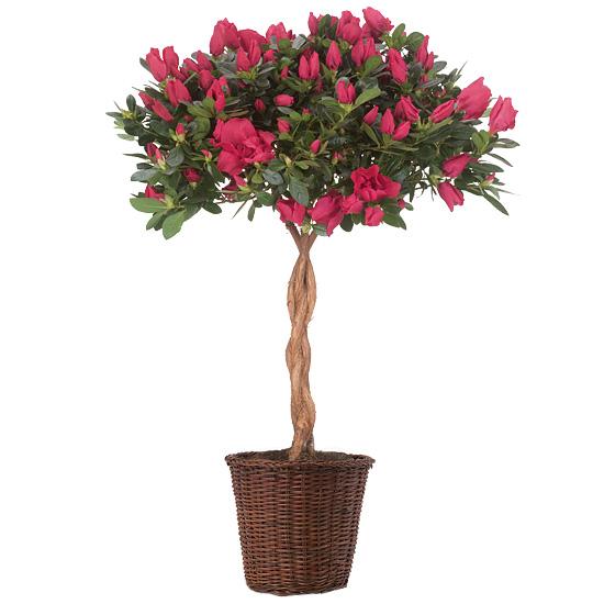 Posy Pink Azalea Topiary with basket