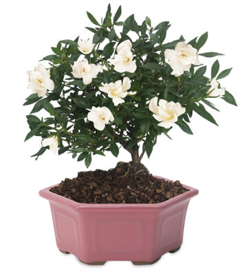 Gardenia Bonsai with cachepot