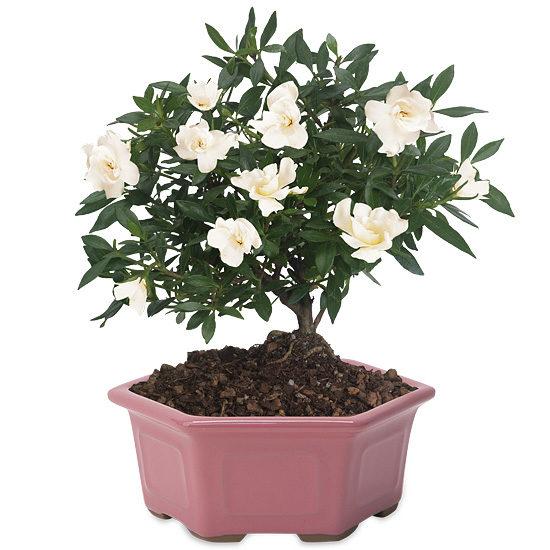 Gardenia Bonsai with cachepot