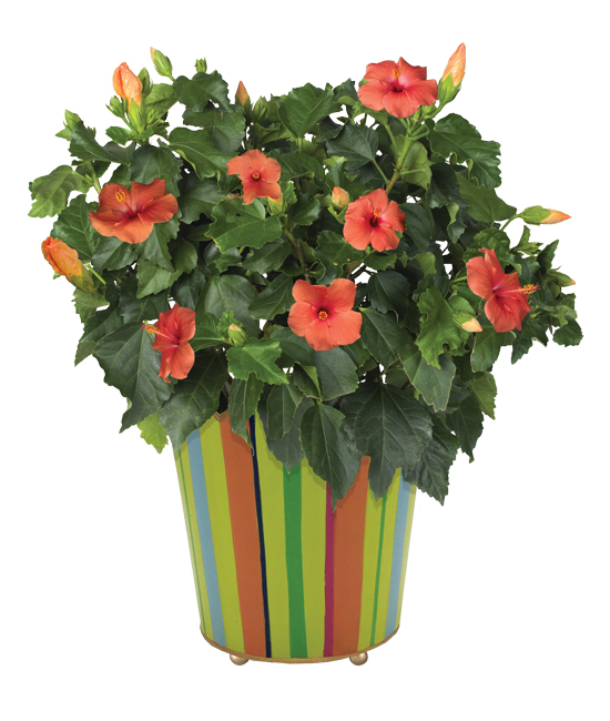Summer Glow Hibiscus Plant Calyx Flowers Inc