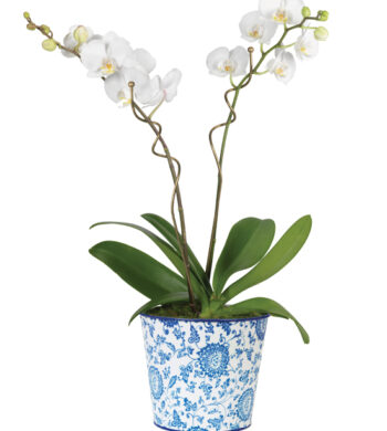 Double White Phalaenopsis Orchid Garden
