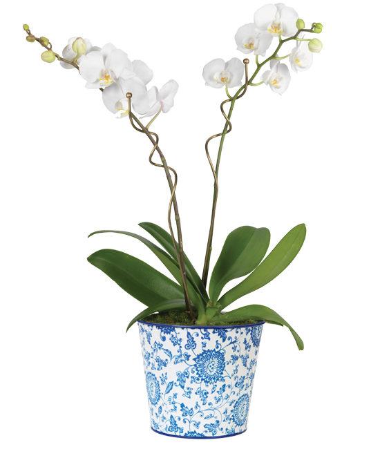 Double White Phalaenopsis Orchid Garden