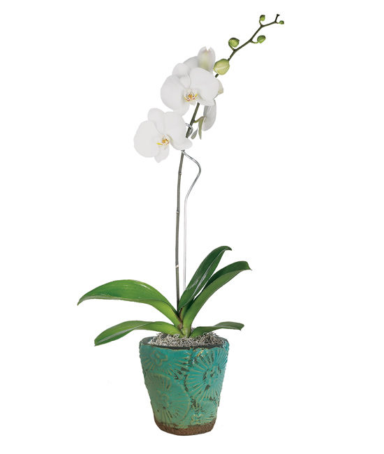Natural White Phalaenopsis Orchid Plant