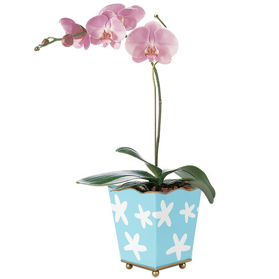 Largo Orchid Plant with cachepot and plant pin
