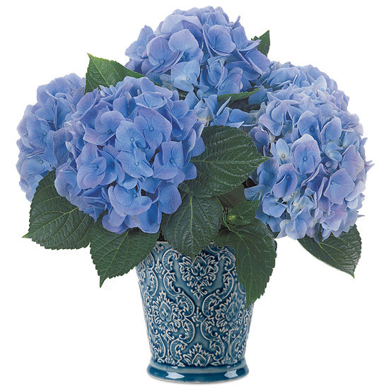 Blue Rhapsody Hydrangea with cachepot