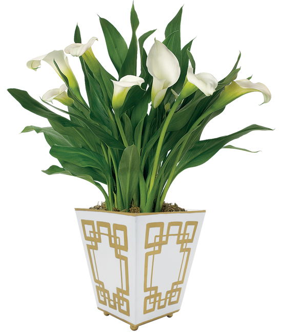 White Calla Lily Plant   Calla Lily Bulb Arrangement on white lily wallpaper, lily of the valley house plant, white lily garden, flamingo lily house plant, lily flower plant, white lily seeds, white lily christmas, white lily plant care, white lily flower, water lily house plant, white and green plants, peace lily plant, white hydrangea house plant, white lily grass, calla lily plant, white lily tree, white water lily plant, green chinese evergreen plant, white lily outdoor plant, white lily tulips,