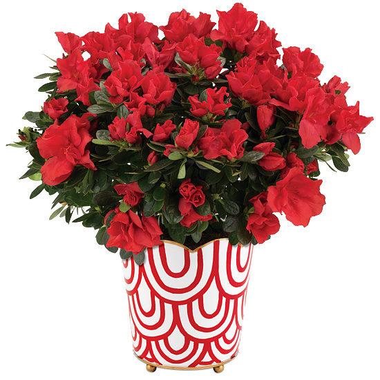 Red Blossom Azalea Plant
