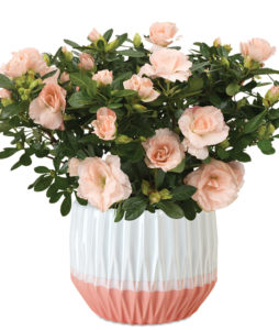 Blush Pink Rozalea Plant