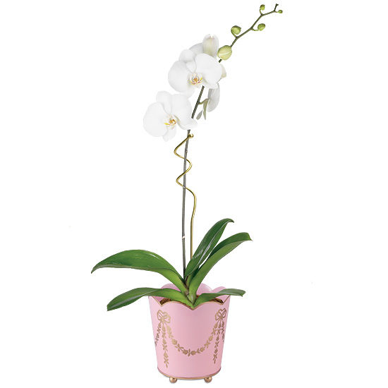 Gala Orchid Plant with cachepot and plant pin