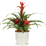 Little Havana Bromeliad Garden with decorative cachepot