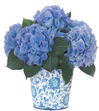 Botanique Blue Hydrangea Plant