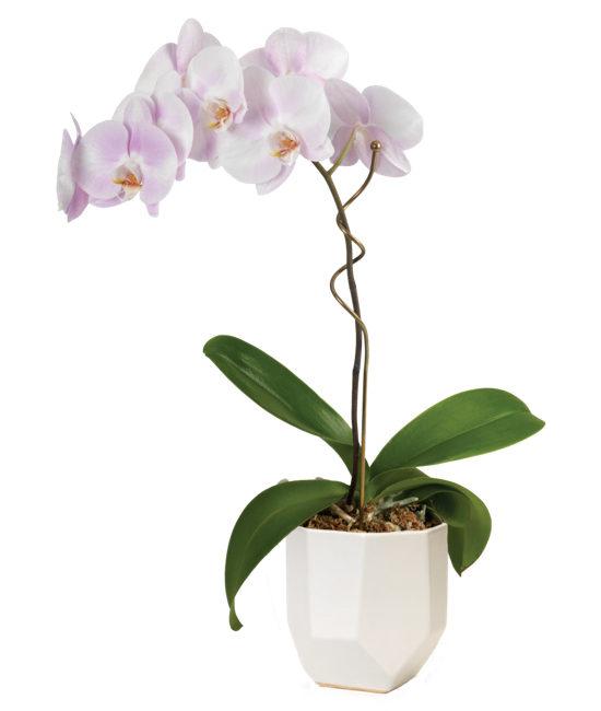 Watercolor Orchid Plant Calyx Flowers Inc