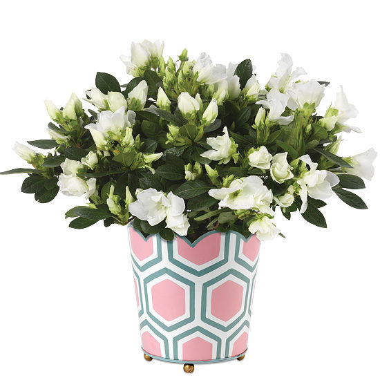 Honeycomb Azalea Plant with cachepot