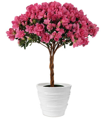 Posy Pink Azalea Topiary with cachepot