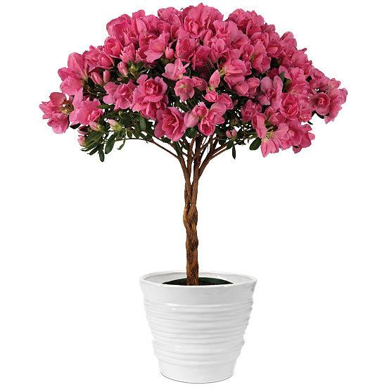 Posy Pink Azalea Topiary with cachepot