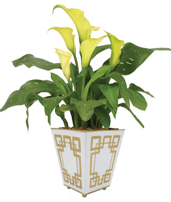 Calla Lily Plant Calyx Flowers Inc