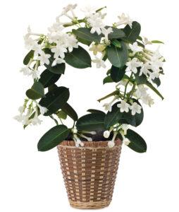 Fragrant Jasmine Plant