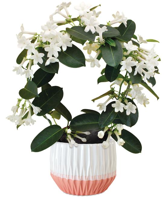 Fragrant Jasmine Plant Calyx Flowers Inc