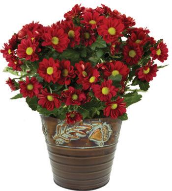 Autumn Daisy Plant
