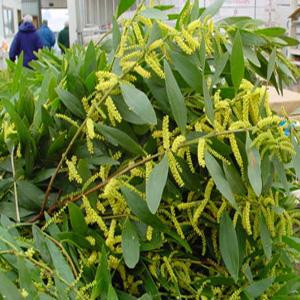 Acacia – Acacia floribunda (A. retinodes cv 'Floribunda') and A. spp.)