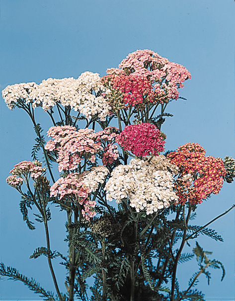 Yarrow – Achillea millefolium, A. ptarmica
