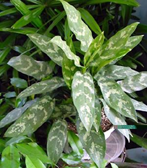 Aglaonema – Aglaonema spp.