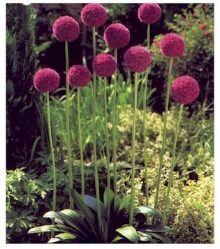 Giant Onion – Allium giganteum