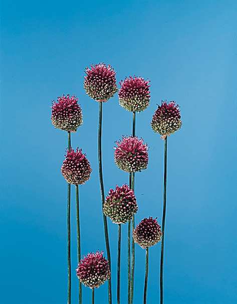 Drumstick Allium Sphaerocephalum Calyx Flowers Inc