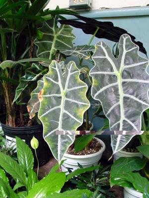 Elephant's-Ear Plant – Alocasia spp.