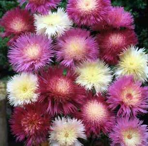 Sweet Sultan – Amberboa moschata (Centaurea moschata)