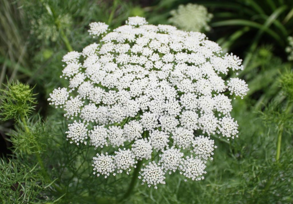 False Queen Anne's Lace – Ammi visnaga  or possibly A. majus