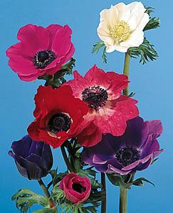 Poppy Anemone – Anemone coronaria or A. spp.