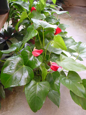 Pigtail Anthurium – Anthurium scherzerianum and A. spp.