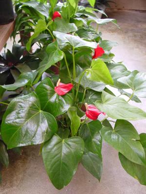 Pigtail Anthurium – Anthurium scherzerianum and A. spp.